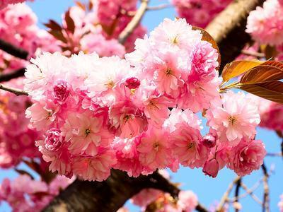 Cherry Blossom Download Jigsaw Puzzle
