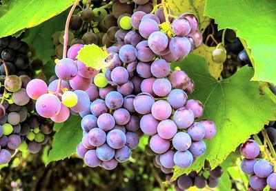 Grapes Download Jigsaw Puzzle