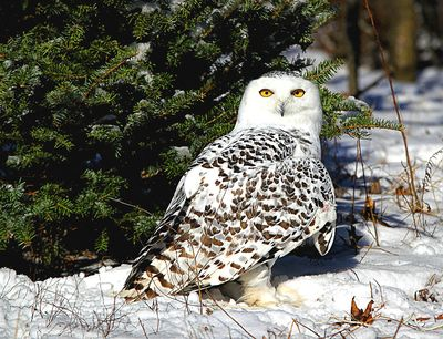 Snowy Owl Download Jigsaw Puzzle